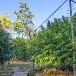A Guide to auto-flowering seed Cultivation